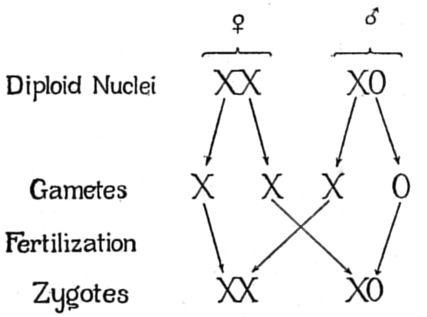 sex chromosome y0