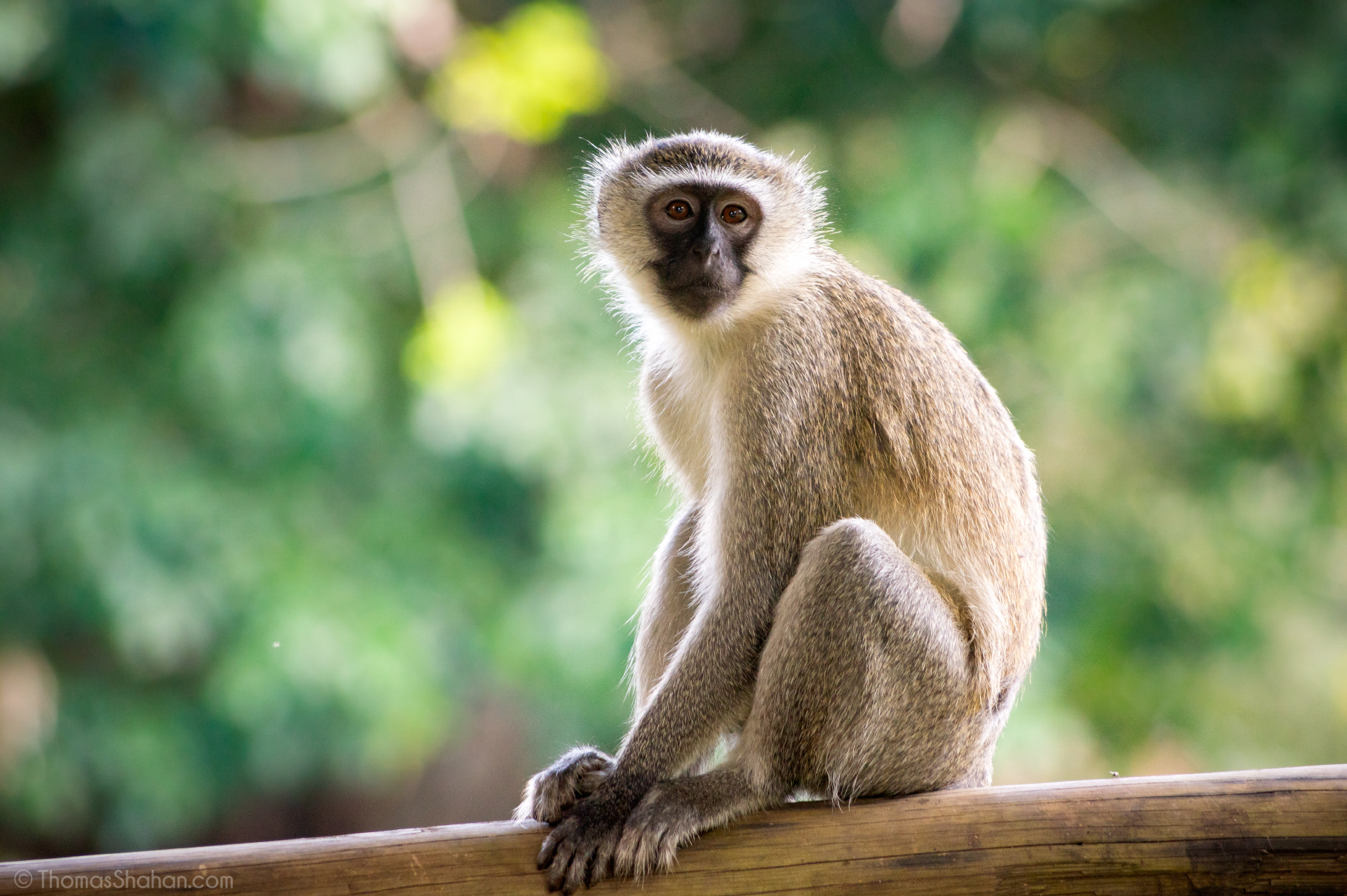 monkey sex a how have does